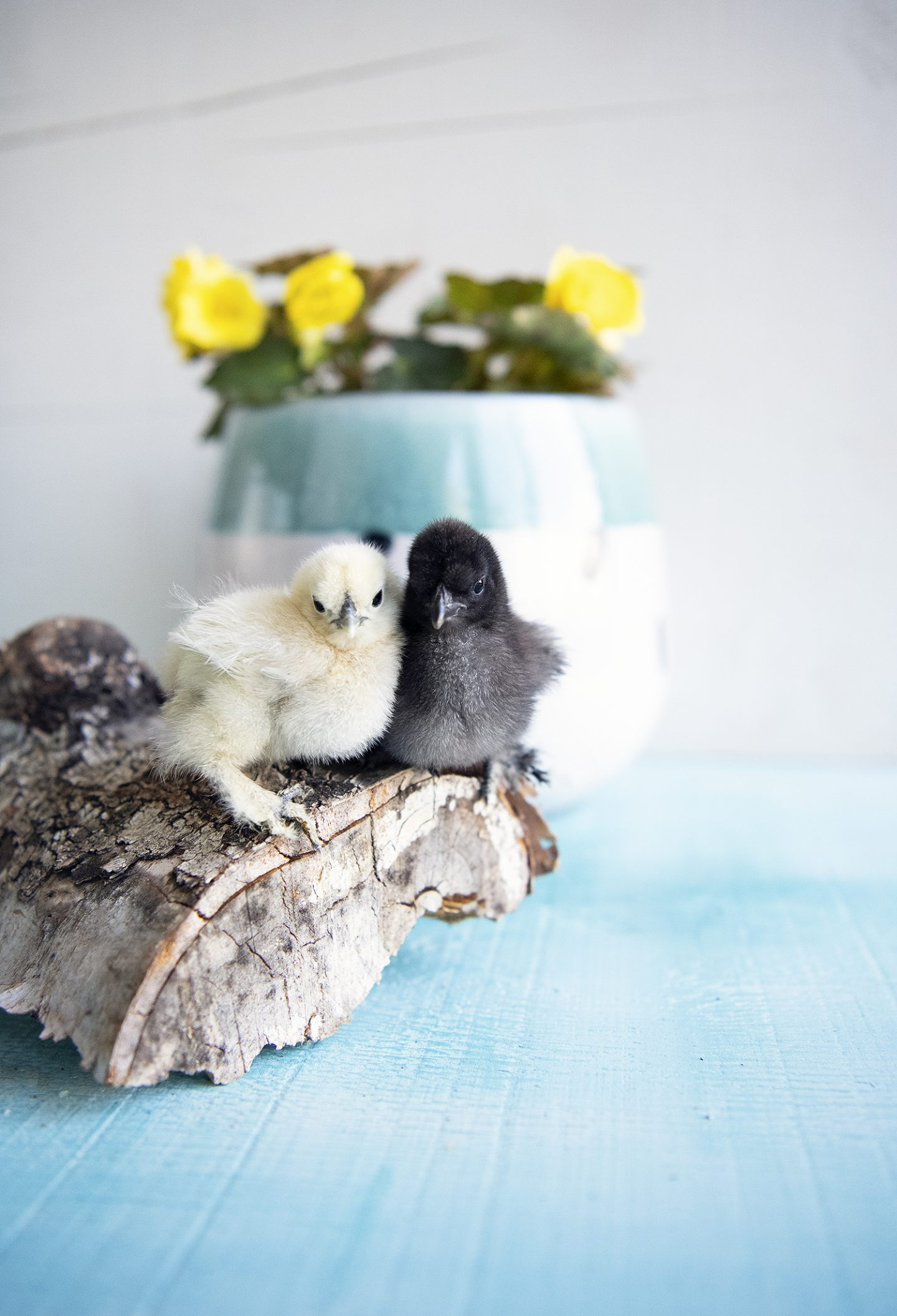 White Silkie Chick and Black Silkie Chick