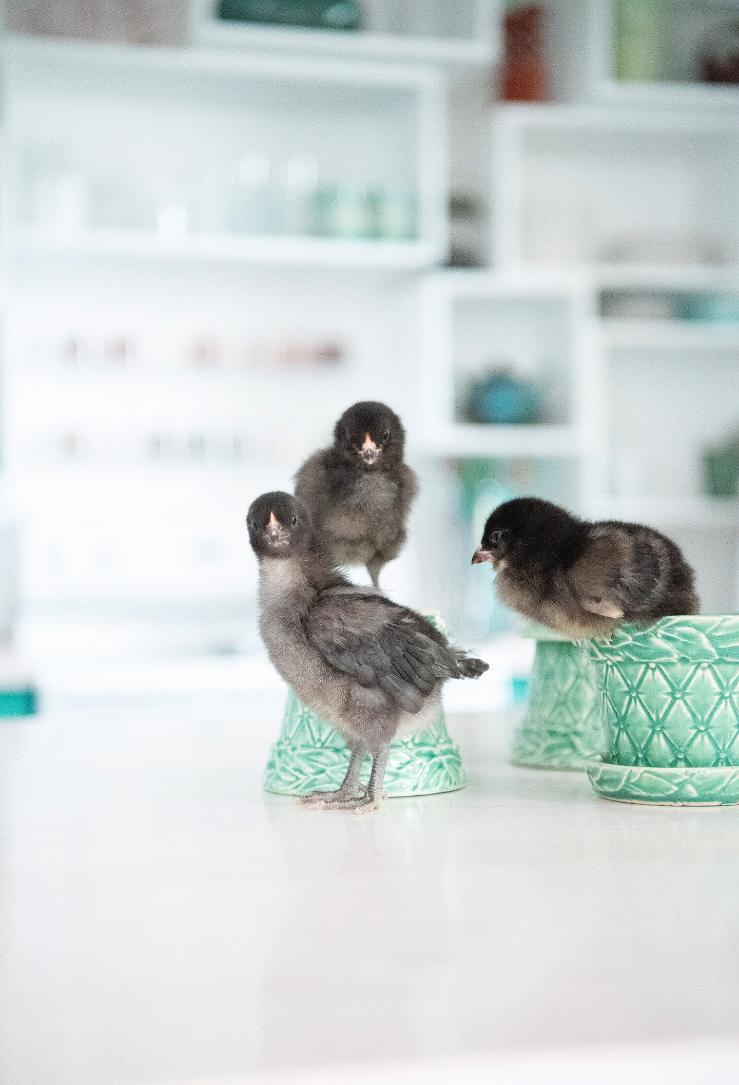 Black Ameraucana Chicks
