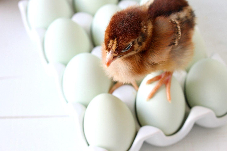 Cute Spring Chicks