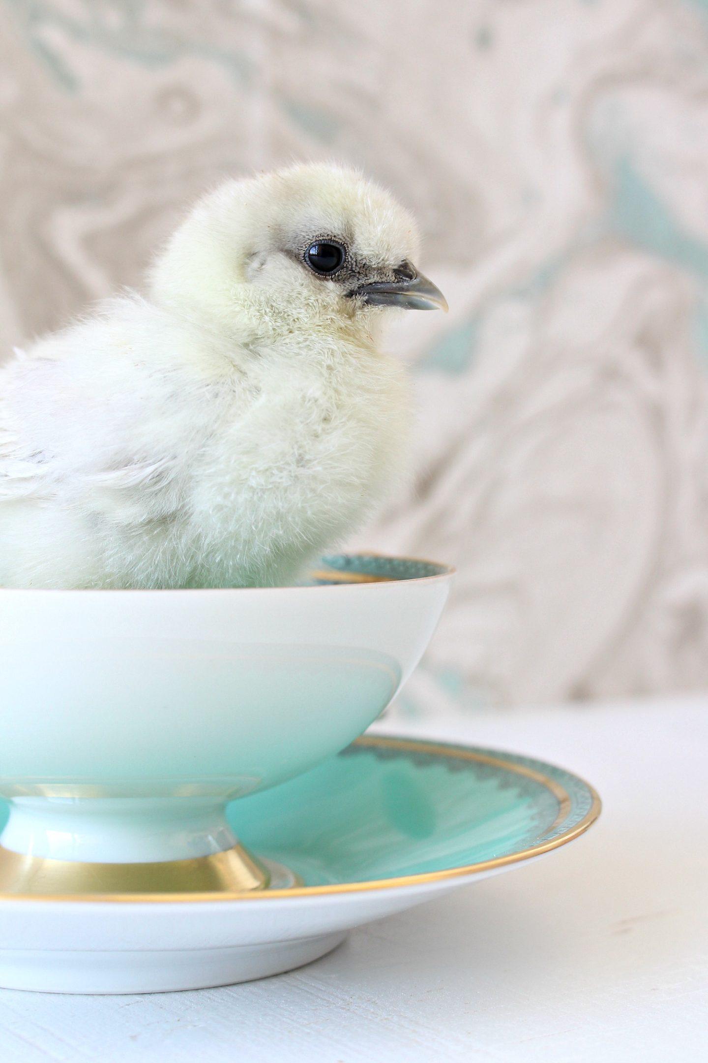 Silkies in Tea Cups