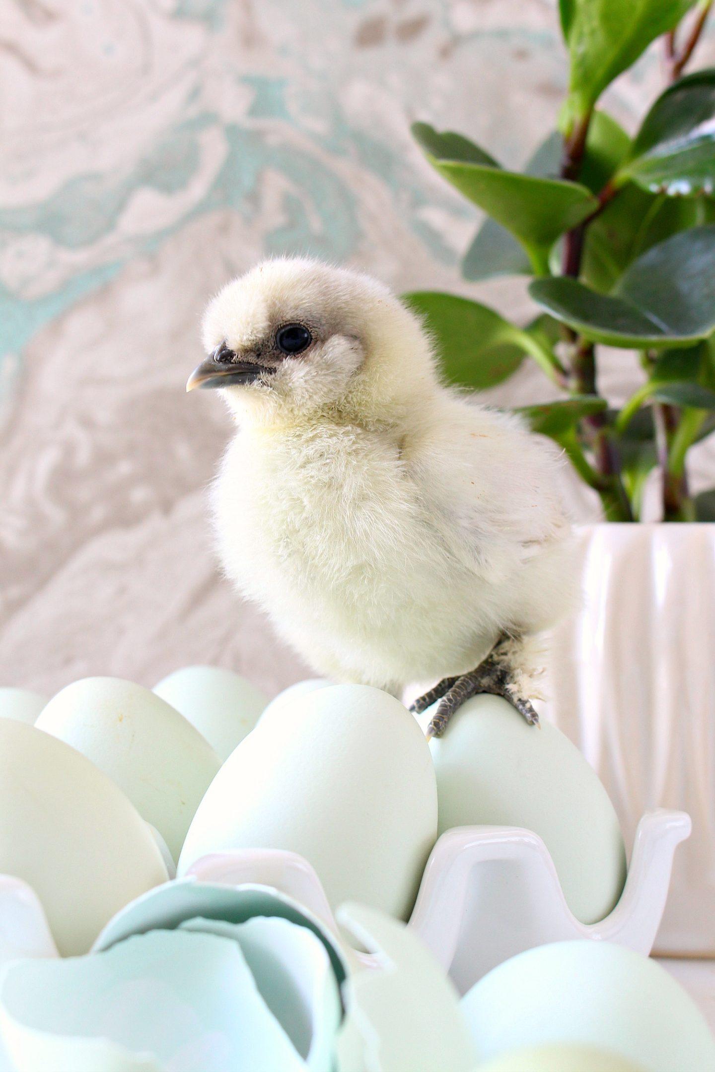 Silkie Chick Photos