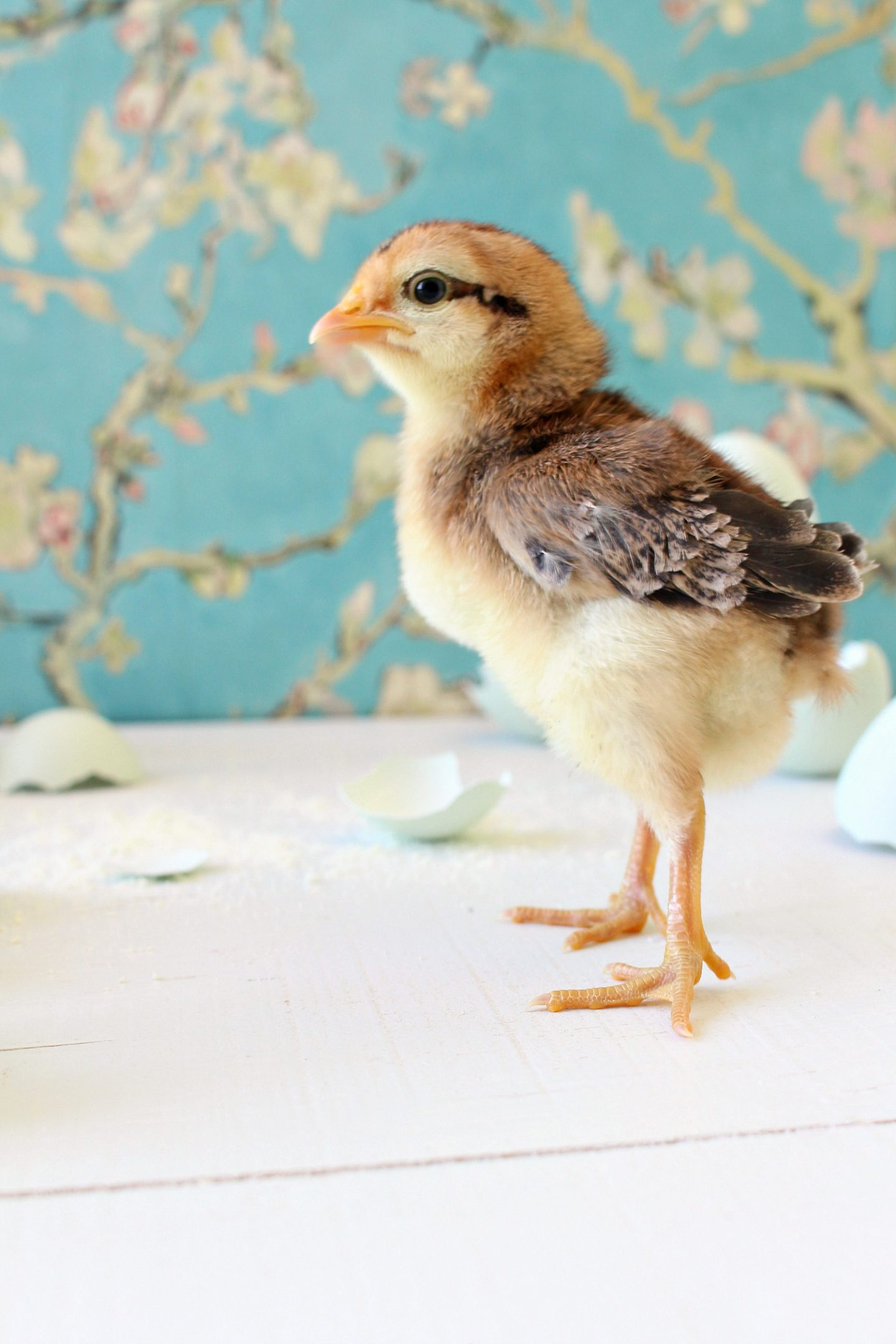 Spring Baby Chick Photos   We Got a New Batch of Chicks!