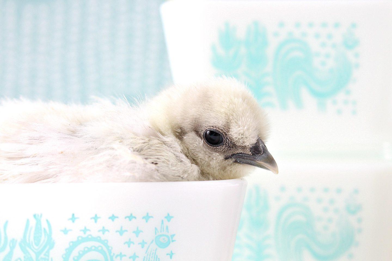 Baby Chicks in Butterprint Pyrex