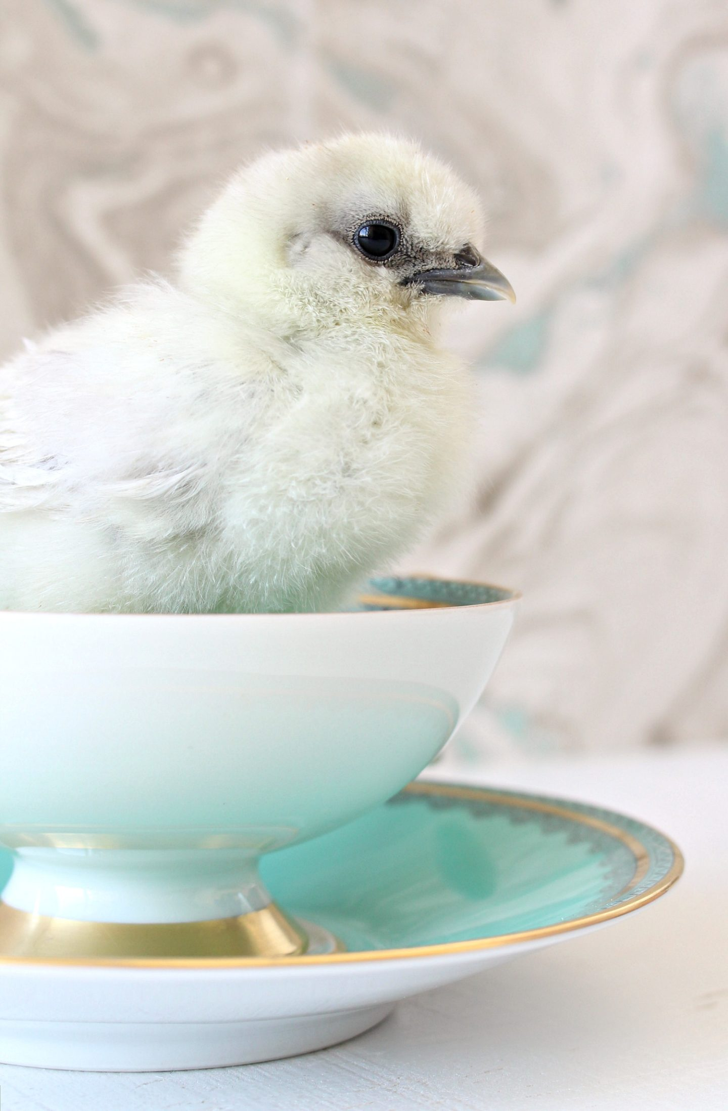 Silkies in Tea Cups Chick Photography