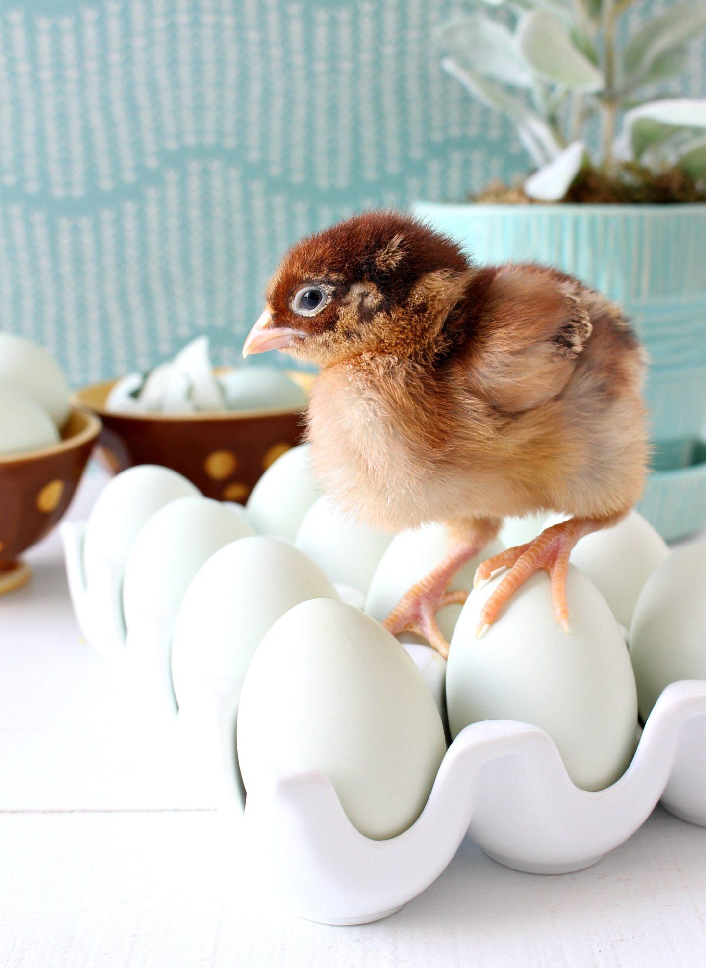 Fuzzy Baby Chicks