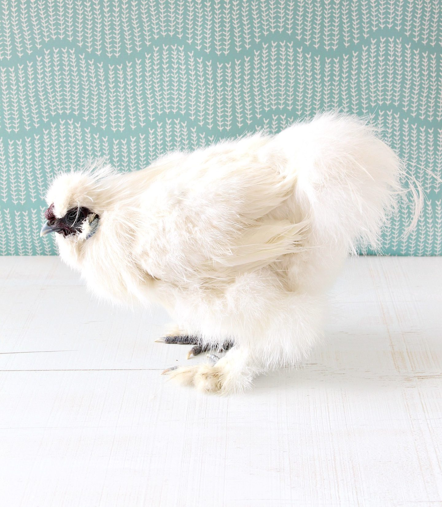 Rooster Silkie Photo