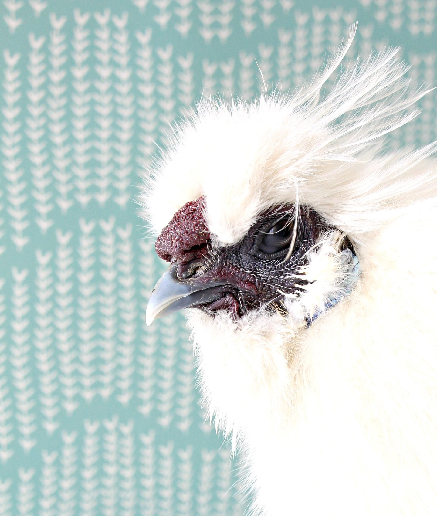 Mulberry Silkie Rooster Comb